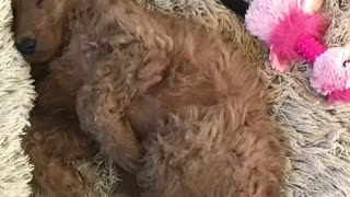 New Goldendoodle Puppy ~ Meet Ruby (Roobarb)