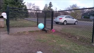 Doggo Jumps for Giant Ball