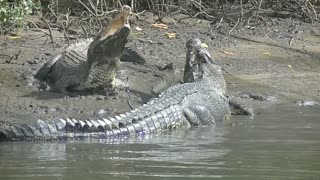 Incredible Crocodile Clash