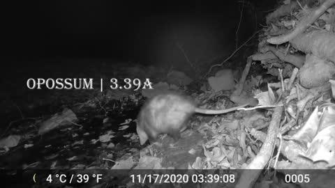 Scofflaw Nightlife presents: the Humble Opossum: a three-part mini-series (part 3)