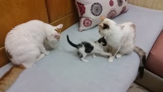 Momma cat comes to the rescue when daddy is playin