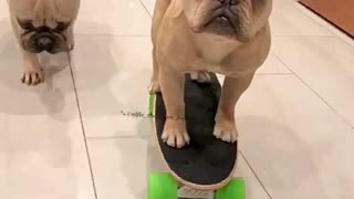 Frenchie skater pup