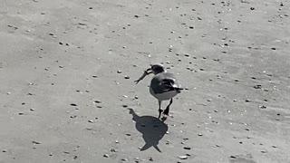 Seagull snack