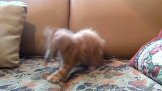 fluffy cat .... smart cat ..