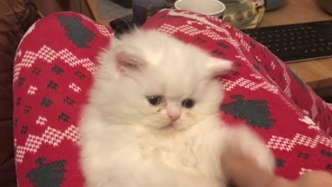 Persian white kitten with blue eyes!