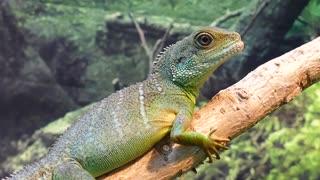 Water dragon, pet lizard