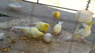Canary birds Eating Egg. Canary birds best food