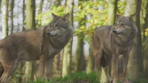 Wolf live