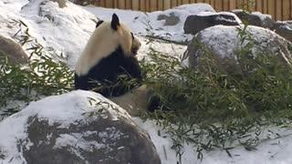 Panda, Canadian Zoo