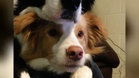Two dogs practice chilling together