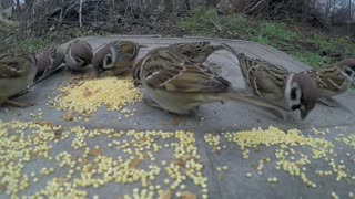 Birds eat food on a metal plate