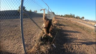 Roo Rescued from Fence