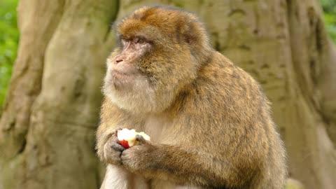 A monkey eats in a strange way