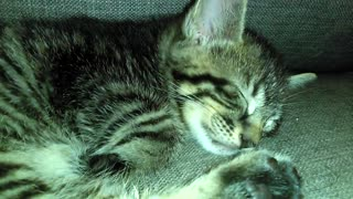 Precious Kitten Sleeps So Peacefully.