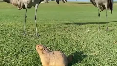 Chuck the prairie dog standing his ground.