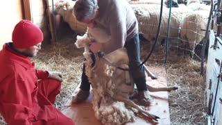 Sheep Shearing at Harvest Haven