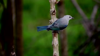 Watch and enjoy the beauty of this bird. Fun too
