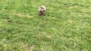 Puppy doing bunny hoops