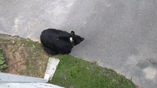 Black Bear Searches for a Snack