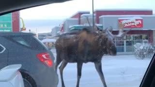 Three bull moose casually stroll through traffic light in Anchorage