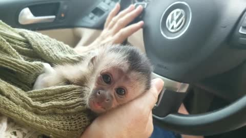 Adorable baby Capuchin monkey starts to get tired and fall asleep