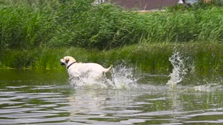 Dog Runs into the Water in Slow-Motion 1