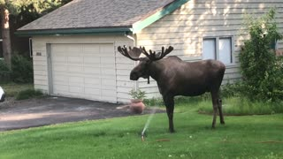 Moose Stands in the Sprinklers