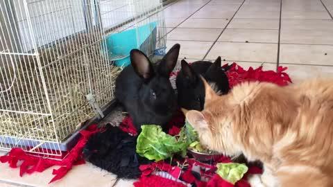 Cat steals rabbit food