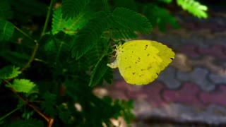A Beautiful yellow butterfly don't want to fly.