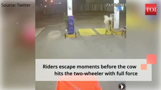 Must watch!!!stray cow chases 2 people on bike.