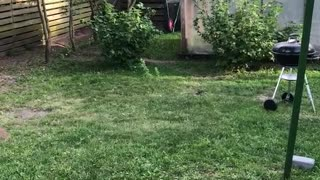 White dog jumping trying to catch meat on string