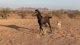 Race between horses and dog