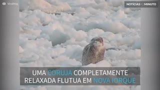 Coruja pega carona em bloco de gelo flutuante