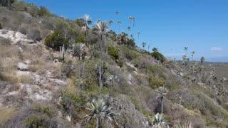 Coccothrinax boschiana in habitat, Dominican Republic