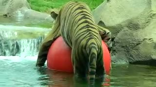 Tiger Playing With Beach Ball