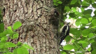 Watch an adorable video of a female woodpecker feeding her chick