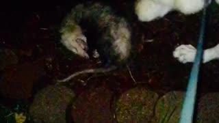 Possum Playing Dead with German Shepherd