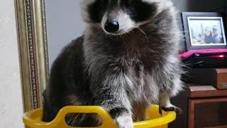 Raccoon in the basket