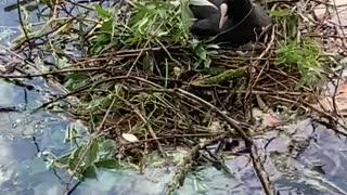 Woman hands water bird sticks to help build nest