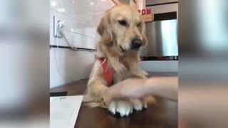 Golden Retriever Dogs Being Adorable