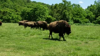 Rambling Buffalo