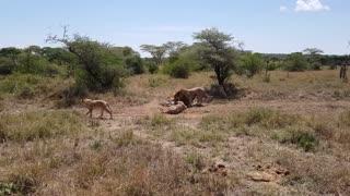 Pride of lions hunting zebras