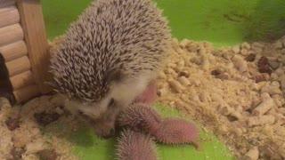 Sweet Little Spiny Hedgehog Babies
