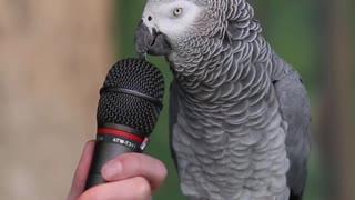 Talking parrot famous