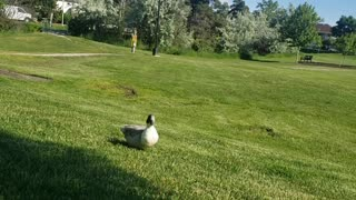 Friendly Duck Comes to Hang Out in the Morning
