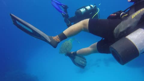 Turtle eating lionfish