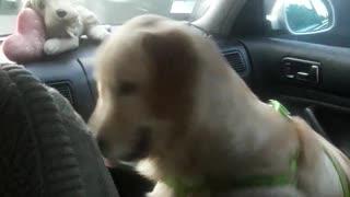 Dog smart golden