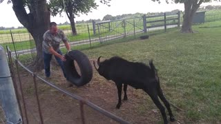 Billy Goat Plays with Tire Swing