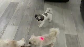 Dogs Indoor Laser Pointer Fun