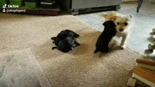 Puppies playing with their Aunt.